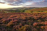 Heather on Porlock Common in the Exmoor National Park with Dunkery beacon beyond. Somerset, England.