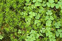 Wood Sorrel (Oxalis acetosella) and Bank Haircap (Polytrichastrum formosum) on a woodland floor after rain in late summer.