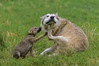 Wolf, Canis lupus, adult with cub.