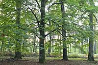 beech grove, forest of Rambouillet, Yvelines department, Ile de France region, France, Europe.