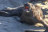 A pup lephant seal at Piedras Blancas Northern Elephant Seal Rookery, along California's Central Coast.