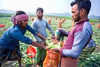 "Bangladesh â. "" January 24, 2020: Labors are uploading Kohlrabi cabbage in plastic mesh bags for export in local market at Savar, Dhaka, Bangladesh."