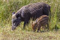 Wild boar or Eurasian wild pig - Sus Scrofa-, National Park of Doñana, Huelva, Spain.