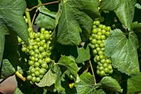 Chardonnay grapes in a vineyard of the Delaire Graff Estate, Stellenbosch region, in the Western Cape Province of South Africa near Cape Town.