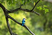 A Woodland Kingfisher (Halcyon senegalensis) perched in a tree in the Manyeleti Reserve in the Kruger Private Reserves area in the Northeast of South ...
