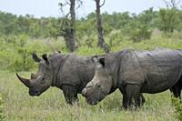 White rhinoceroses or square-lipped rhinoceros (Ceratotherium simum), one dehorned to protect it from poaching, in the Manyeleti Reserve in the Kruger...