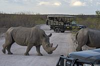 White rhinoceroses or square-lipped rhinoceros (Ceratotherium simum) crossing a road in the Ongava Game Reserve, south of the Etosha National Park in ...