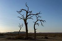 Dead trees in the barren landscape of the private Kulala Wilderness Reserve in the Sossusvlei area, Namibia.