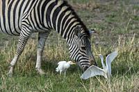 A Plains zebra (Equus quagga, formerly Equus burchellii) is grazing on the floodplains, surrounded by Cattle egrets (Bubulcus ibis) looking for insect...