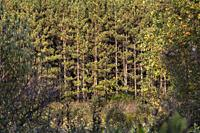 Pine tree forest in Forks of the Credit conservation area in Ontario.