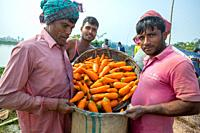 """Bangladesh â. """" January 24, 2020: After harvest farmers are putting fresh carrot in jute bags and preparing for export at Savar, Dhaka, Bangladesh."""