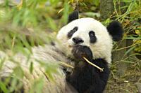 Giant Panda, ailuropoda melanoleuca.