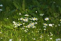 White daisies are blooming on a lawn. Västernorrland, Sweden, Europe