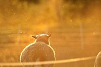 A sheep is standing on a pasture, bathing in the golden light at sunset. Västernorrland, Sweden, Europe