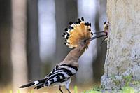 Eurasian hoopoe, Upupa epops, feeding chick in nest, Kiskunság nemzeti national park, hungary.