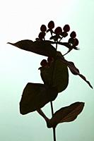 Stem of Plant with Berries Silhouetted Against Blue Ground.
