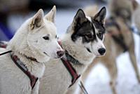 Siberian Husky (Canis familiaris), portrait, sled dog, France.