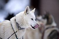 Siberian Husky (Canis familiaris), portrait, sled dog, tongue, France.