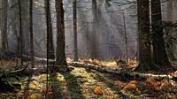Sunbeam entering mixed forest stand in morning, Bialowieza Forest, Poland, Europe.