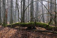 Sunbeam entering deciduous forest stand in morning with oak tree log lying in foreground, Bialowieza Forest, Poland, Europe.