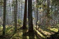 Sunbeam entering mixed forest stand in morning with rotted wood in foreground, Bialowieza Forest, Poland, Europe.
