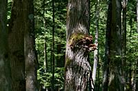 Old oak treee with fungi in summer sun,Bialowieza Forest,Poland,Europe.