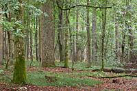 Summertime deciduous primeval forest with old oak tree in background and hornbeam in foreground, Bialowieza Forest, Poland, Europe.