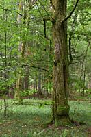 Rich deciduous stand with old moss wrapped hornbeams in foreground, Bialowieza Fo.