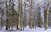Wintertime landscape of snowy deciduous stand with oak and hornbeam trees in foreground, Bialowieza Forest, Poland, Europe.