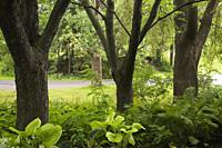 Row of deciduous tree trunks in shade garden underplanted with Hosta and Pteridophyta - Fern plants in summer, Centre de la Nature public garden, Lava...