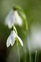 Soft focus close up of Snowdrop (Galanthus nivalis) flowers.