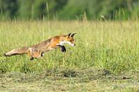 Jumping red fox (Vulpes vulpes) on mowed meadow, Hesse, Germany, Europe.