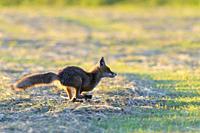 Running red fox (Vulpes vulpes) on meadow, Hesse, Germany, Europe.