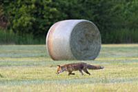 Red fox (Vulpes vulpes) on mowed meadow, Summer, Hesse, Germany, Europe.