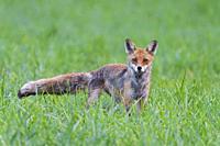 Red fox (Vulpes vulpes) on meadow, Summer, Hesse, Germany, Europe.