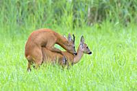 Western roe deers (Capreolus capreolus) at the mating, Hesse, Germany, Europe.