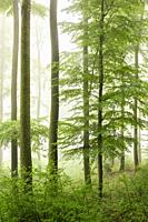 Beech forest on misty morning, Autumn, Nature Park, Spessart, Bavaria, Germany, Europe.