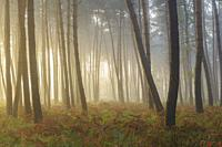 Pine Forest on misty morning at sunrise, Hesse, Germany, Europe.