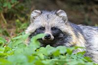 Raccoon dog, Hesse, Germany, Europe.