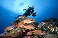 Shoal of Longjawed Squirrelfish, Ahe Atoll, Tuamotu Archipel, French Polynesia.