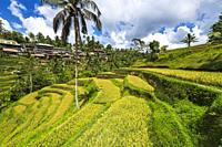 Rice fields at Tegallalang Rice Terrace, Bali, Indonesia.
