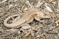 Camouflaged Eastern Fence Lizard (Sceloporus undulatus) - North Carolina Arboretum, Asheville, North Carolina, USA.