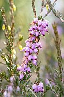Mediterranean Pink Heath (Erica x darleyensis) Mediterranean Pink - North Carolina Arboretum, Asheville, North Carolina, USA.