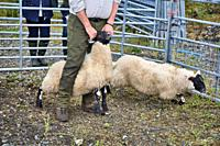 Sheep handler farmer astride sheep holding it by horns at North Harris Agricultural Show 2019, Tarbert, Isle of Harris, Outer Hebrides, Scotland