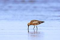 Bar-tailed godwit (Limosa lapponica) male foraging in shallow water in spring