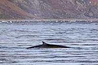 Fin whale / finback whale / common rorqual / herring whale / razorback whale (Balaenoptera physalus) showing dorsal fin while surfacing