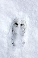 Svalbard reindeer (Rangifer tarandus platyrhynchus), close-up of footprint in the snow in winter, Spitsbergen, Norway