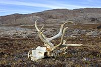 Svalbard reindeer (Rangifer tarandus platyrhynchus), close-up of skull with bleached antlers on the tundra in autumn, Spitsbergen, Norway