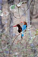 White-Throated Kingfisher (Halcyon smyrnensis smyrnensis), Alcedinidae Family, Coraciiformes Order, Ranthambhore National Park, Rajasthan.