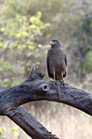Crested Serpent Eagle (Spilornis cheela), Tadoba Andhari Tiger Reserve, Maharashtra state, India.